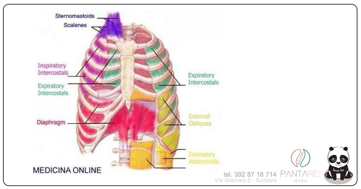 MuscoliRespiratoriLuca